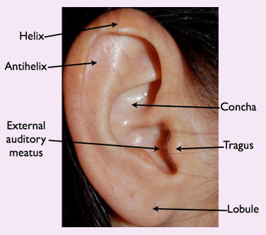Normal Ear Anatomy